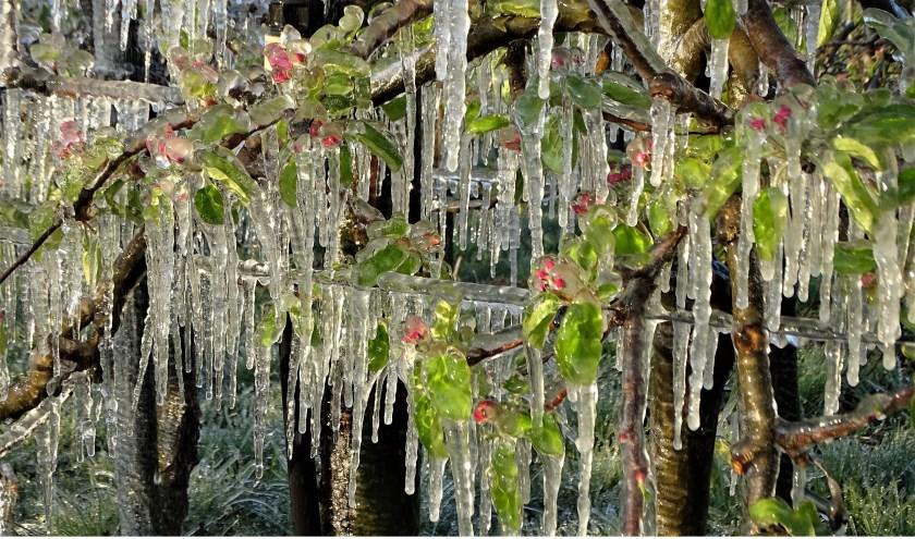 • Deze foto van appelbloesem in het ijs werd zaterdagmorgen vroeg genomen in Herwijnen.