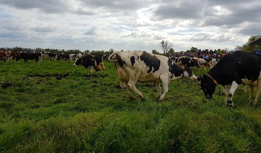 <p>&bull; Een eerdere &#39;koeiendans&#39; bij Kaasboerderij Schep.</p>
