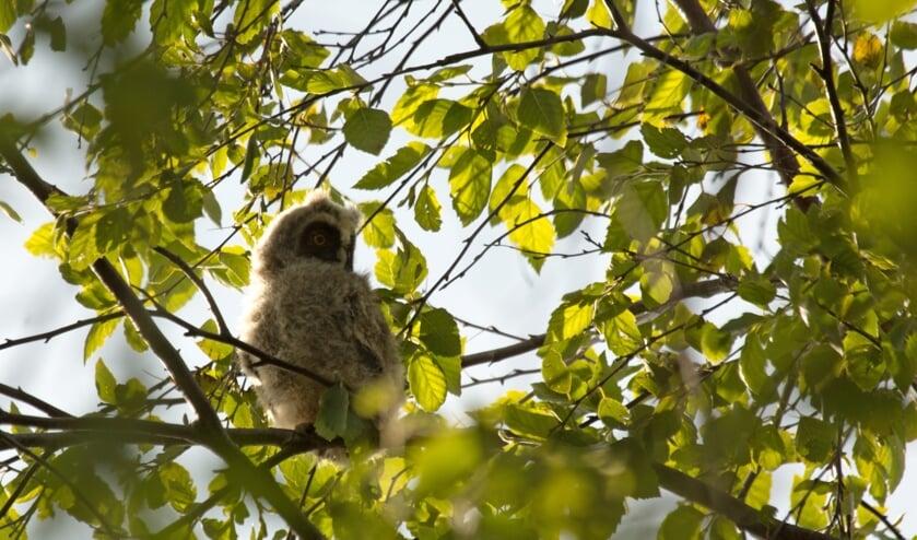 • Een jonge ransuil in een boom.