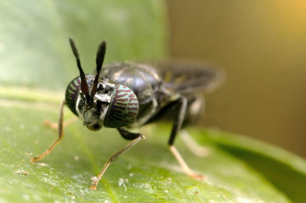 • De vlieg. Foto: InsectoCycle © Alblasserwaard