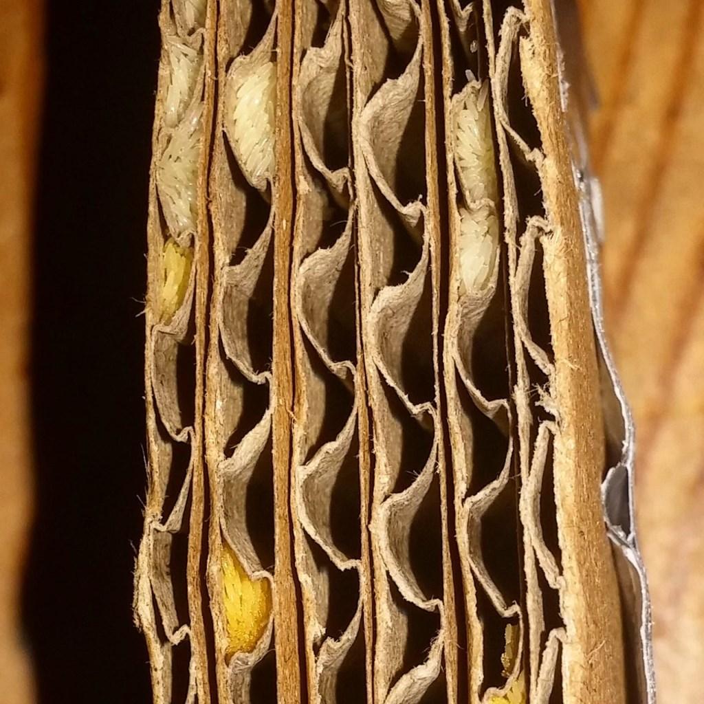 • De eieren in een legkarton. Foto: InsectoCycle © Alblasserwaard