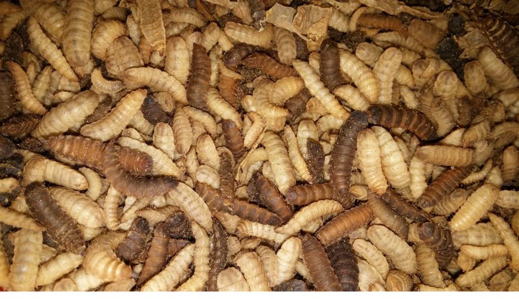 • De larven. Foto: InsectoCycle © Alblasserwaard