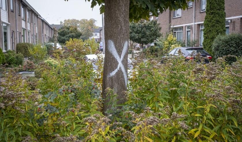 • Eén van de te kappen bomen in Krimpen aan de Lek.