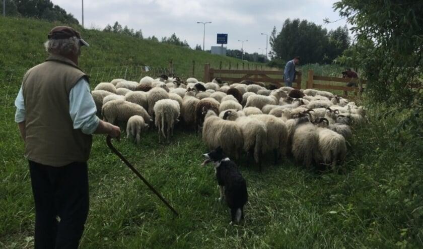 <p>In juni van dit jaar graasden de schapen onder meer nog in IJsselstein, waar burgemeester Van Domburg het hek open deed. Archieffoto</p>