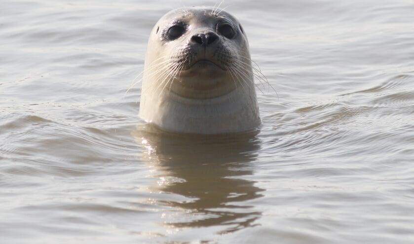 • Arjan Boele wist mooie foto's te maken van de gewone zeehond die hij zag zwemmen in de Lek.