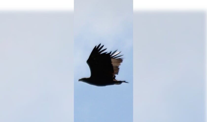• De zeearend die Ilse zag in de lucht tussen Berkenwoude en Ouderkerk.