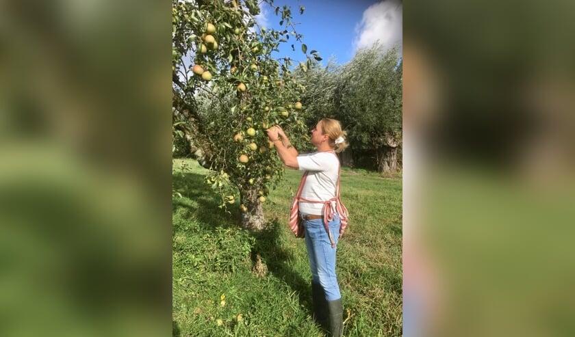 • Wethouder Hendriksen plukt enkele peren.