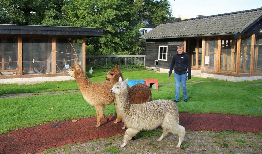 • Quinten Copier begeleidt de alpaca's naar hun nieuwe onderkomen.