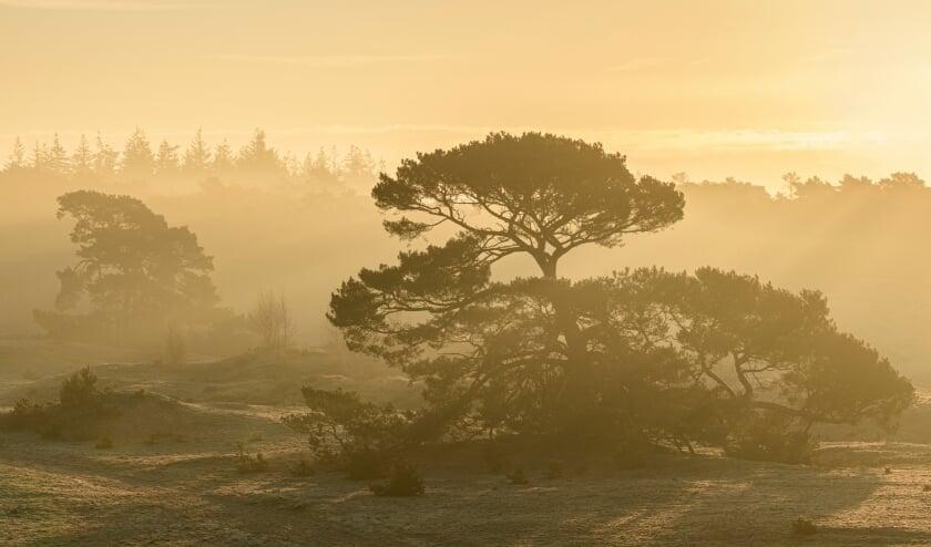 Solitaire vliegdennen bij een mistige zonsopkomst; Solitary Scots Pines during a misty sunrise