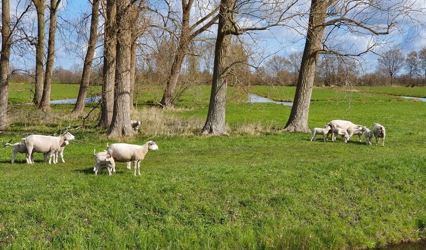 • De schapen van Daan de Vos langs de N210.