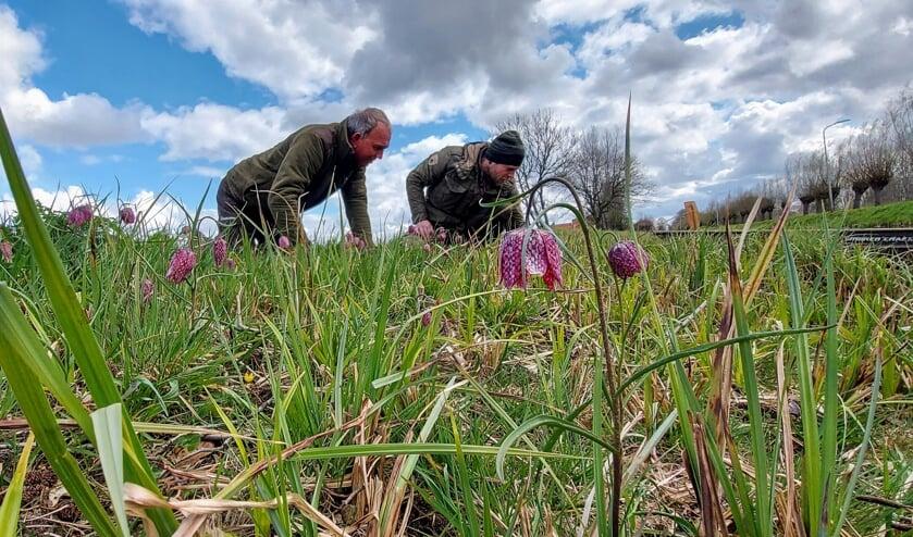 <p>&bull; Boswachters van het Zuid-Hollands Landschap telden langs de Sijghkade tussen Gouda en Stolwijk nog enkele tientallen wilde kievitsbloemen.</p>