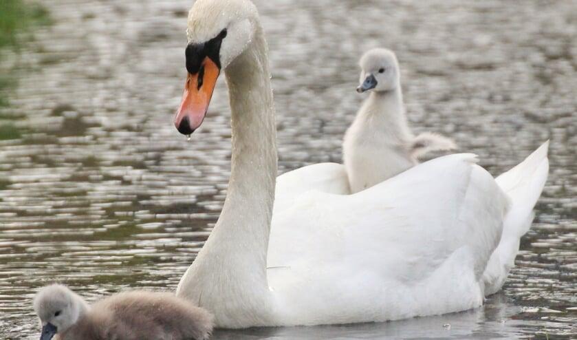 Zwanenjong op de rug van een van de ouders