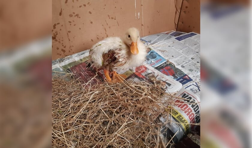 • Het eendje kreeg de naam Lucky Ducky.
