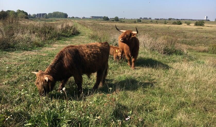 <p>Een kudde Schotse Hooglanders zorgt in de Kleine Willemswaard voor natuurlijke begrazing. &nbsp;</p>