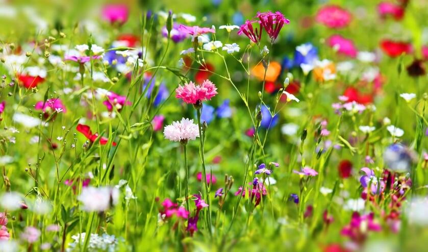 <p>In Nieuwegein maken er steeds meer grasvelden plaats voor bloemen. Van margrieten en boterbloemen tot rode klaver en vogelwikke. </p>