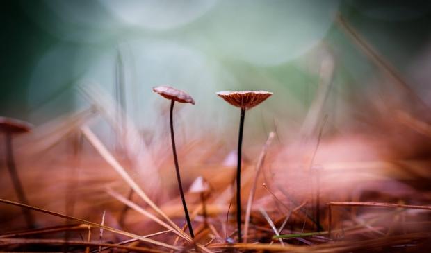 2 super kleine paddenstoeltjes die toch heel groots kunnen lijken