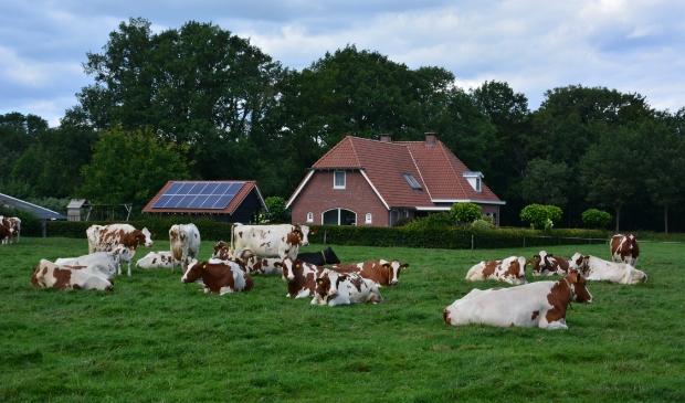 Koeien op het Twentse platteland