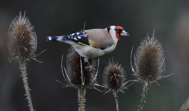 Bij een wandeling langs een volkstuintje ontdekte ik een putter of distelvink. Deze prachtige vogel zatijverig de de zaden van een kaardebol op te peuzelen.Ieder jaar in de herfst zoeken de putters naar deze kaardebollen, diehen een heerlijke maal