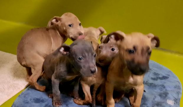 Een deel van de pups tijdens hun bezoek aan de dierenarts bij een opvangcentrum van de Dierenbescherming.