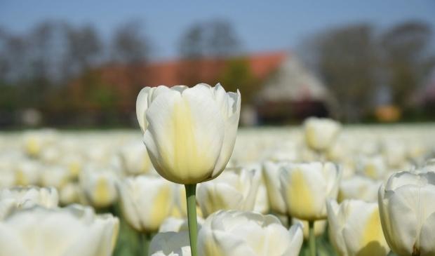 <p>Tulpenroute Flevoland (archieffoto)</p>