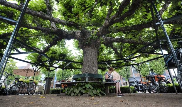 <p>Moeierboom te Etten-Leur, winnaar Boom van het Jaar 2020</p>