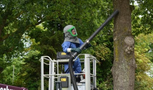 De gemeente Dronten begint volgende maand weer met het wegzuigen van de rupsen.