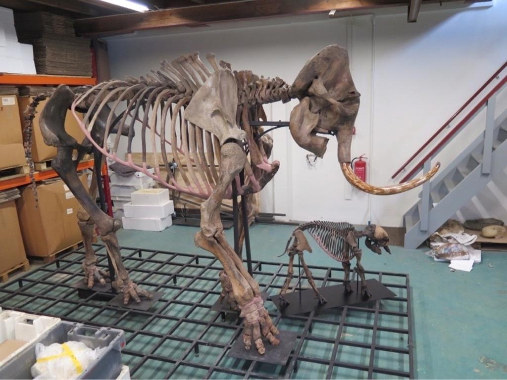 Skeletten van mammoetvrouwtje en jong North Sea Fossils © BrugMedia