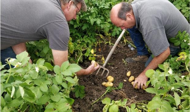 <p>Robuuste aardappelen</p>