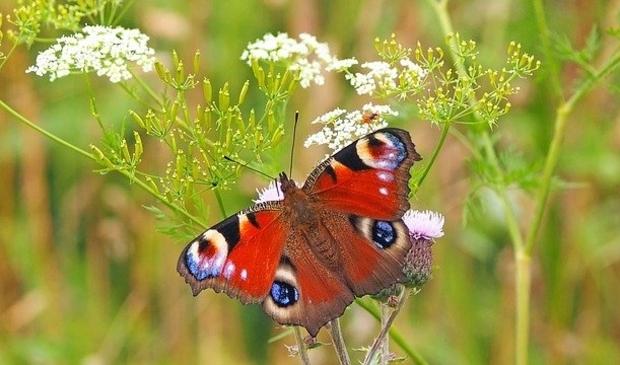 Op zoek naar een zeldzame vlinder.