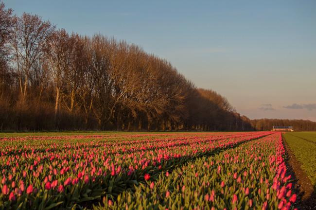 De eerste tulpen zal al uitgekomen bij Swifterbant.