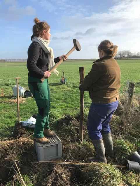 Bij bio-dynamische boerderij GAOS in Swifterbant gaan moerbeien en lindes de grond in.