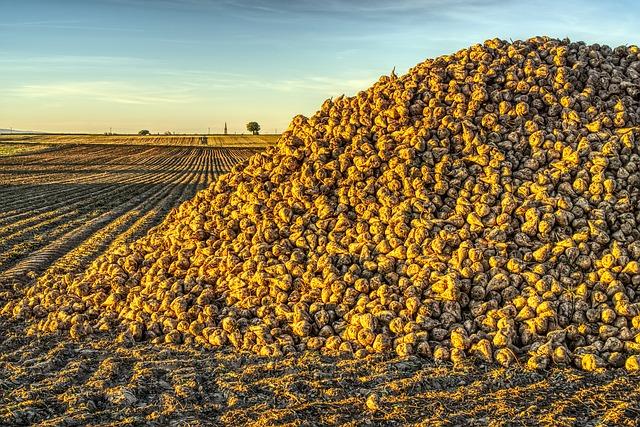 Delphy verkent in Swifterbant de low-budgetteelt van suikerbieten