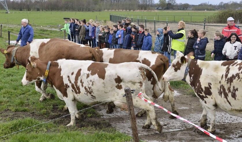 De koeien springend en bokkend richting het verse gras   | Fotonummer: 51468f