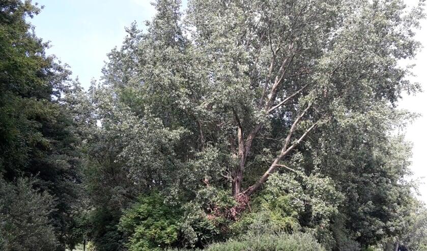 De essentaksterfte heeft toegeslagen in Vlietland. Staatsbosbeheer gaat de zieke en dode bomen kappen. Er komt een grotere variatie in boomsoorten terug. Foto: Staatsbosbeheer