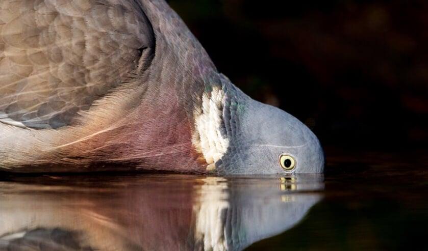 <p>Het oordeel van de jury over deze winnende foto van Edwin Bosch: &ldquo;Schitterend van compositie, een dagelijkse vogel die er nu bijna buitenaards uitziet, zeer origineel beeld, zo zie je de houtduif nooit.&rdquo; </p>