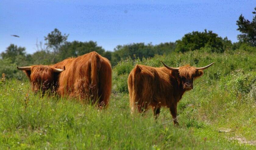 <p>Schotse hooglanders als inzet natuurbeheer</p>