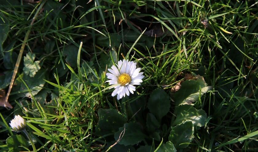 Ook in de winter kun je bloeiende madeliefjes vinden. (Foto: Caroline Elfferich)