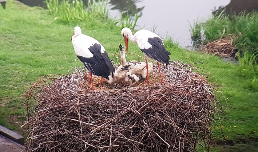 Uniek kijkje in het ooievaarsnest, waarin zich vier kuikens bevinden (foto: www.haagsevogels.nl).