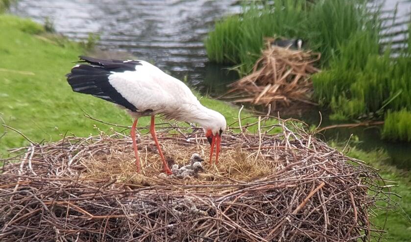 Foto: Caroline Walta - vrijwilliger Haagse Vogelbescherming | Stichting Ooievaars Research & Knowhow