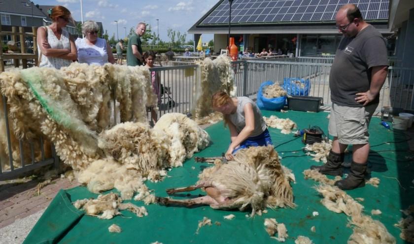 Het schapenscheren is een zware klus. Foto: Jan van Es