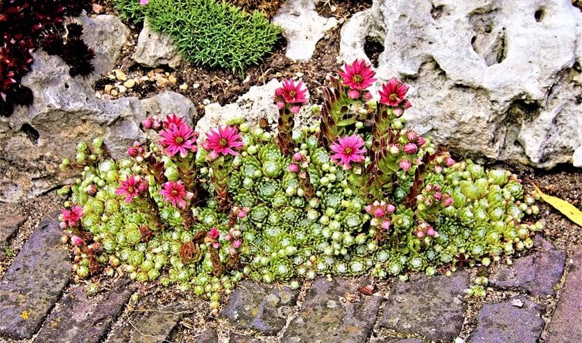 <p>Huislook is een eetbare plant met rozetten die zelfs medicinale werkingen heeft. Hij groeit graag op het dak, maar ook op de bestrating in de tuin (foto: pr).</p>