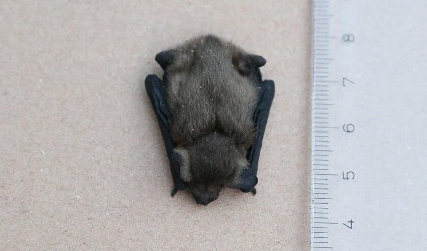 <p>Dode jonge vleermuis gevonden in Park Berkenoord. (foto: Caroline Elfferich)</p>