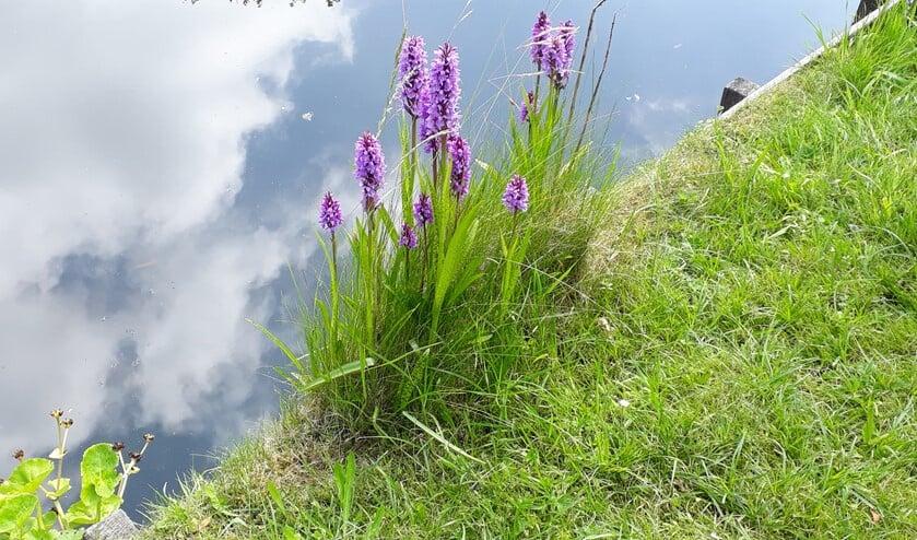 <p>Orchidee&euml;n, spontaan gevestigd in een tuin in Nootdorp. (foto: Caroline Elfferich)</p>