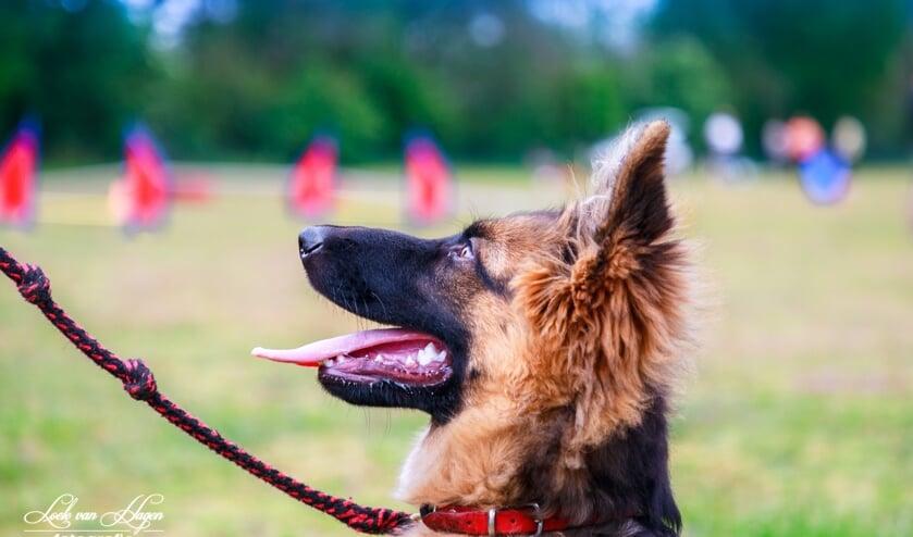 Aandacht van de hond voor de baas is de basis om te komen tot een goed opgevoede hond.
