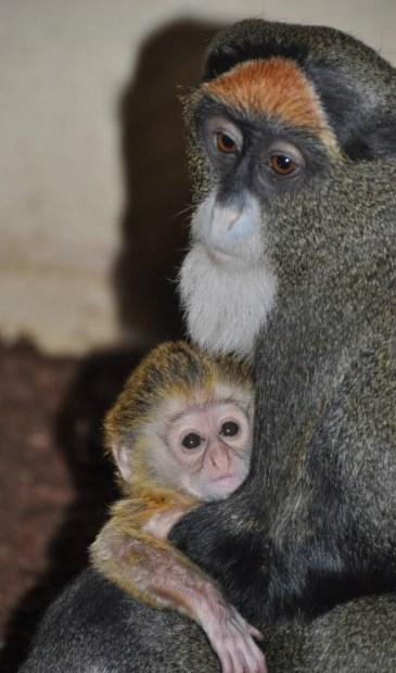 Brazzameerkat geboren in ZooParc Overloon.