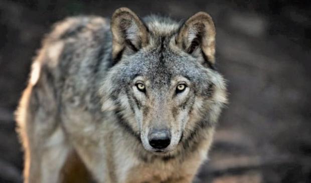 <p>Uit DNA-onderzoek bleek dat de gedode schapen het werk was van een wolf</p>