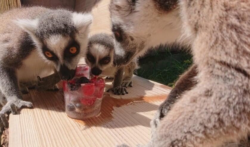 Genieten van ijs in ZooParc Overloon.