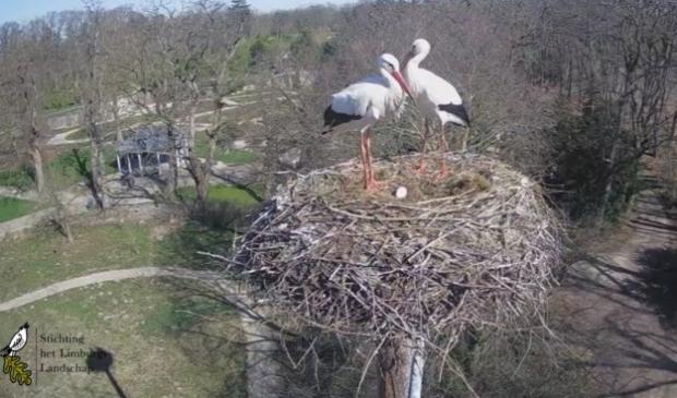 Arcense ooievaars met het eerste ei van 2021