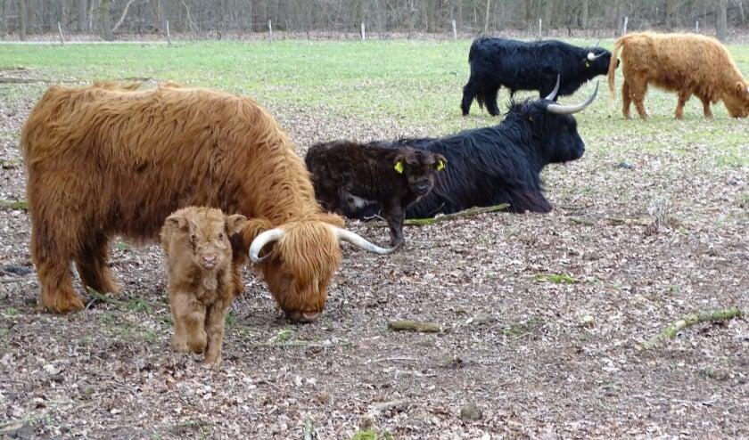 <p>In een week tijd werden twee kalfjes, een bruin en een zwart, geboren in de Castenrayse Vennen.</p>