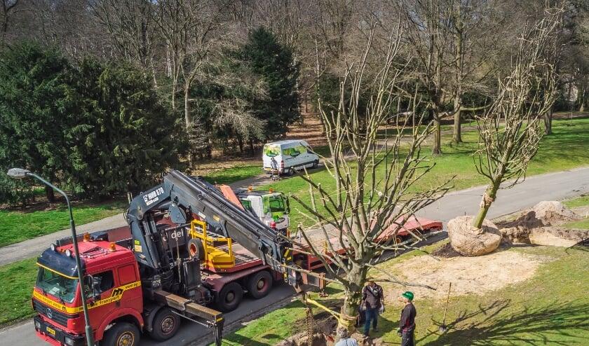 <p>De plaatsing van een van de negen lindebomen in het Annapark.&nbsp;</p>